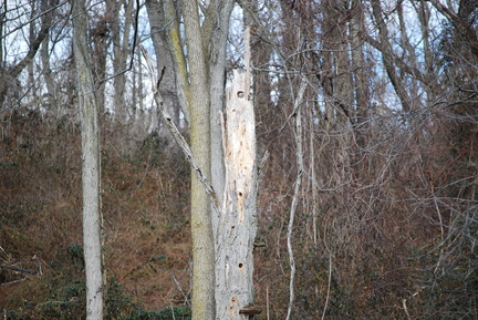 Dead Tree with Woodpecker Holes