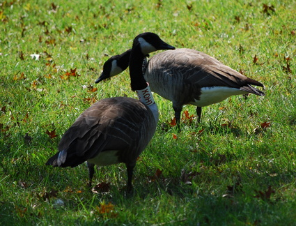 Canada Geese - KOH1