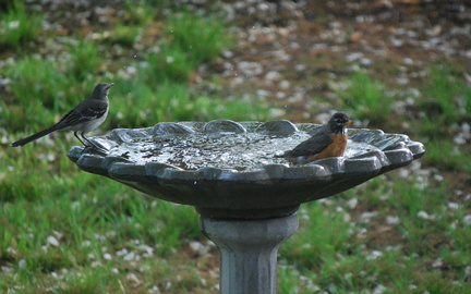 Northern Mockingbird and American Robin