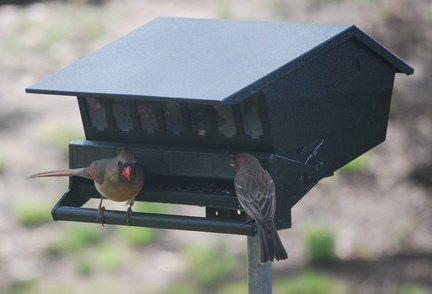 Northern Cardinal and House Finch