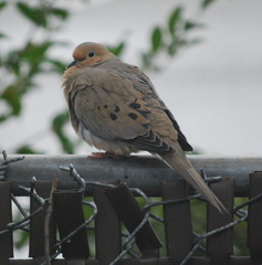 Mourning Dove, Puffed Up