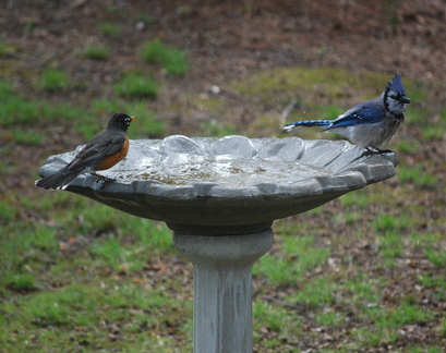 American Robin and Blue Jay